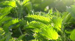 Stinging nettle leaves Stock Footage
