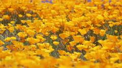 Close up of Bright orange California poppies Stock Footage