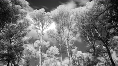 Pines trees forest mallorca infra red environment 4k Stock Footage