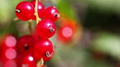 Fresh redcurrant in garden - closeup Stock Footage