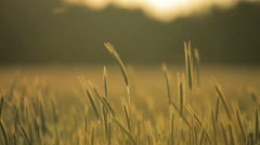 A wheat meadow in the afternoon Stock Footage