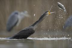 Cormorant Phalacrocorax carbo young bird from the previous year throwing its - stock photo