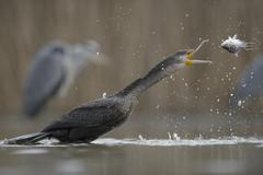 Cormorant Phalacrocorax carbo young bird from the previous year throwing its Stock Photos