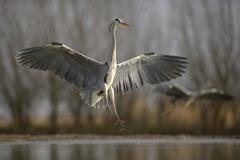Grey Heron Ardea cinerea flying landing on a lake Kiskunsag National Park Stock Photos