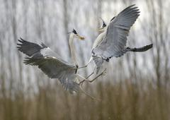 Grey Heron Ardea cinerea fighting over prey Kiskunsag National Park Hungary - stock photo