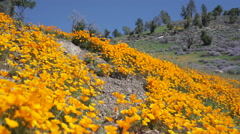 Pan right to bright orange California poppies against a bright blue spring sky Stock Footage