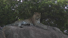 Leopard (Panthera pardus) on Koppie Arkistovideo