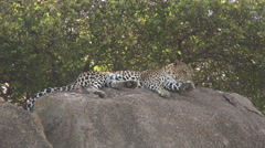 Leopard relaxing on Koppies Stock Footage
