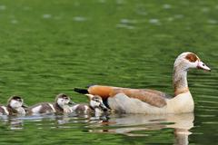 Egyptian Goose Alopochen aegyptiacus adult with three chicks on a pond North - stock photo