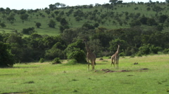 Giraffes chewing on their cuds - stock footage