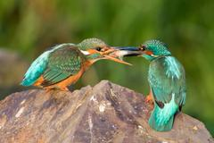 Kingfishers Alcedo atthis on stone mating feeding couple male handing over fish - stock photo