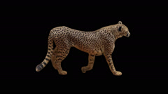 Real shot Cheetah slowly walking with alpha seamlessly looped Stock Footage