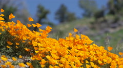 Breeze blows orange California poppies near field of Royal Lupine Stock Footage