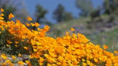 Breeze blows orange California poppies near field of Royal Lupine Stock Footage