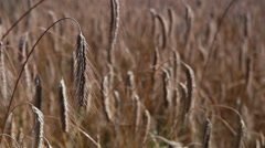 Rye in field Stock Footage
