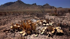 Burnt Desert Cactus and Landscape After Fire Stock Footage