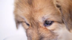 Puppy Dog Close Up Eating From Her Food Bowl On White Background Stock Footage