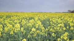 Oil Seed Rape field tracking shot Stock Footage