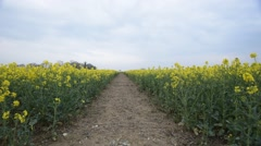 Field of rape seed in full flower tracking shot Stock Footage