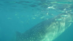 Whale shark swims in search of plankton. - stock footage