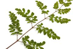 Green Leaves and Yellow Speckles of  Moringa Tree 4 - stock photo