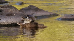 Mallard duck stretches, drinks water, and cleans its feathers. Stock Footage