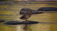 Mallard duck standing on a rock, cleaning its feathers and drinking water. Stock Footage