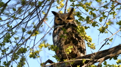 Great Horned Owl sitting in tree looking around. Stock Footage