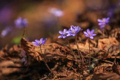 Close detail of small violet spring flower - stock photo