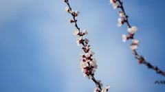 Sprig of flowering apricot trees - stock footage
