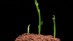 4k time lapse growing Broad bean plants Stock Footage