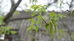 Walnut tree blossoms Stock Footage