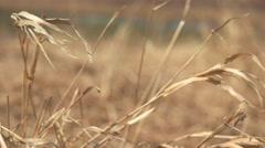 Wheat Grass Blowing in the Wind. Stock Footage