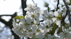 Cherry blossom at spring - stock footage