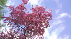 Beautiful big paradise apple-tree with pink flowers  on sky background 4k - stock footage