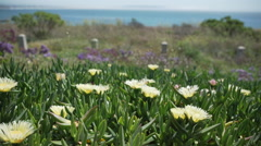 Pan of African Mesembryanthemum flowers on Pismo Beach Stock Footage