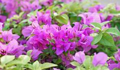 bougainvillea hybrida or paper flower - stock photo