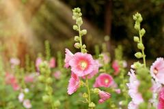 beautiful hollyhock flower or althaea flower - stock photo