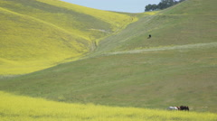 Horses graze in a lush field full of flowers in early spr Stock Footage