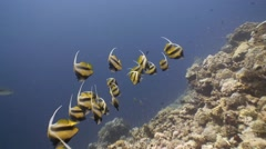 A flock of colorful bannerfish. Stock Footage