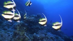 A flock of colorful bannerfish. - stock footage