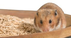 Hamster portrait on heap of grain - stock photo