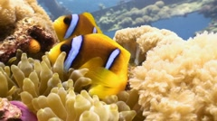 Symbiosis of clown fish and anemones. - stock footage