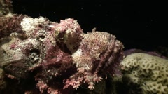Mysterious night dives. Scorpion fish. Stock Footage