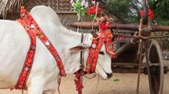 Decorated buffalo in Bagan , Myanmar , Burma Stock Footage