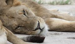 lion wild dangerous mammal africa savannah Kenya - stock photo