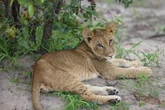 baby lion wild dangerous mammal africa savannah Kenya - stock photo