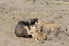 lion eating bull in blood after hunting wild dangerous mammal africa savannah - stock photo