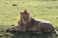 male lion wild dangerous mammal africa savannah Kenya - stock photo