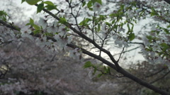 Cherry Blossom Branch in the wind Stock Footage